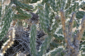 Curve-billed Thrasher Nesting