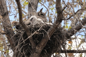 Great Horned Owls - OSVC