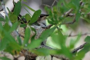 Nesting Black-chinned Hummingbird