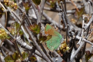 Western Green Hairstreak