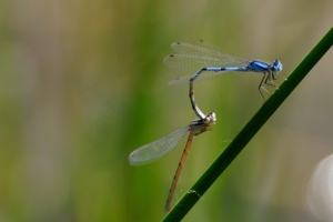 Bluet Damselfly Mating