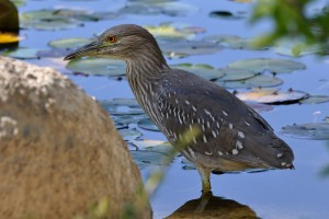 Immature Black-crowned Night-Heron