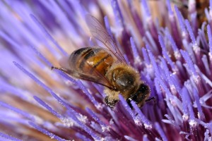 Bee and Artichoke Thistle