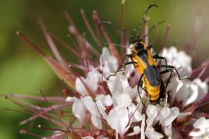 Large Milkweed Bug