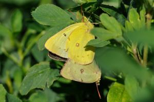 Mating Clouded Sulphurs