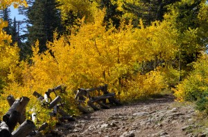 Aspen on the Crest Trail