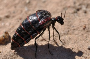 Red-banded Blister Beetle