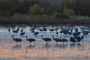 Sandhill Cranes on the Runway