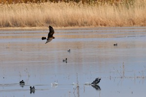 Northern Harrier and American Coot