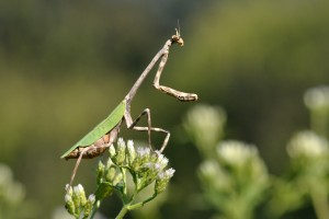 Texas Unicorn Mantis