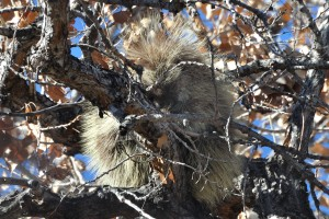 Sleepy Porcupine