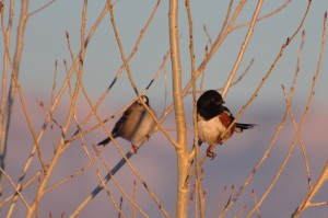 Spotted Towhee (and White-crowned Sparrow)