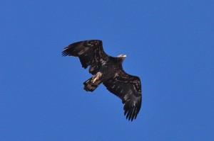 Bald Eagle (#1)