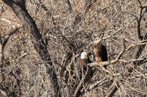 Bald Eagles (#3 and #4)