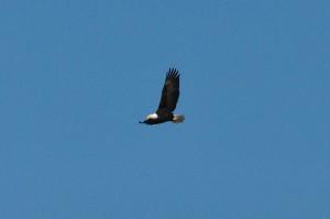 Bald Eagle (#2)