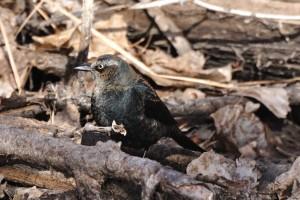 Rusty Blackbird (male)