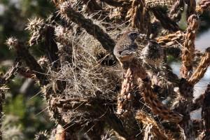 Cactus Wrens