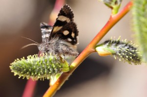 Litocala Moth