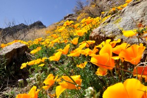 Spring Canyon Poppies