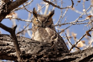 Great Horned Owl - Rt.66 Open Space