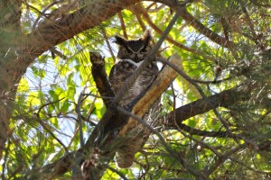 Male Great Horned Owl - Albuquerque Academy