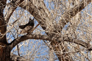 Great Horned Owl - male -Pueblo Montano OS