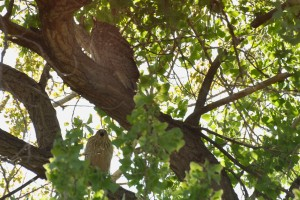 Cooper's Hawk and Great Horned Owl