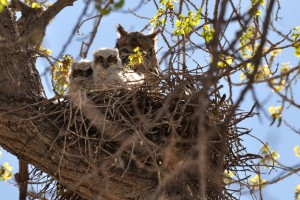 Great Horned Owls - Rio Grande Nature Center