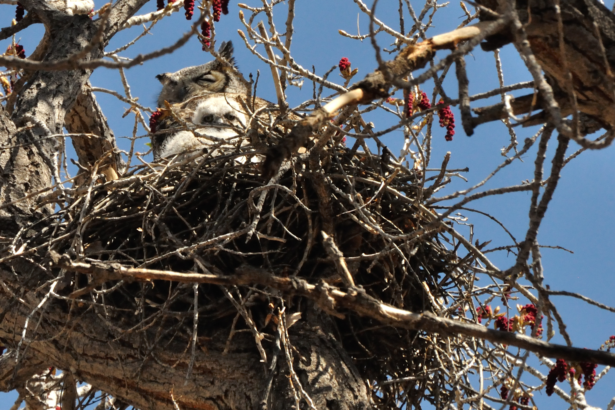 Owl Nests Pictures Nesting Great Horned Owl