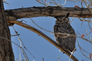Great Horned Owl - male -RGNC