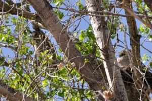 Great Horned Owl - Tingley Beach