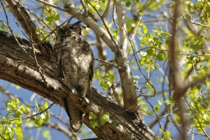 Male Great Horned Owl - Tingley Beach