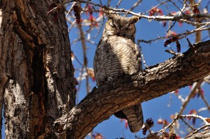 Great Horned Owl - Rt. 66 Open Space