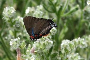 Great Purple Hairstreak (Atlides halesus)