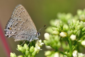 Behr's Hairstreak
