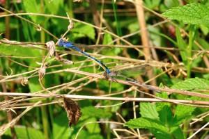 Mating Bluets