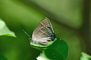 Colorado Hairstreak