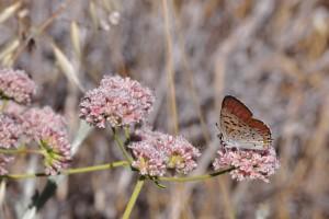 Gorgon Copper