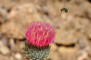 Metallic Small-headed Fly