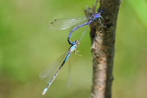 Mating Bluets