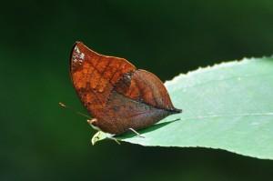Cramer's Leafwing