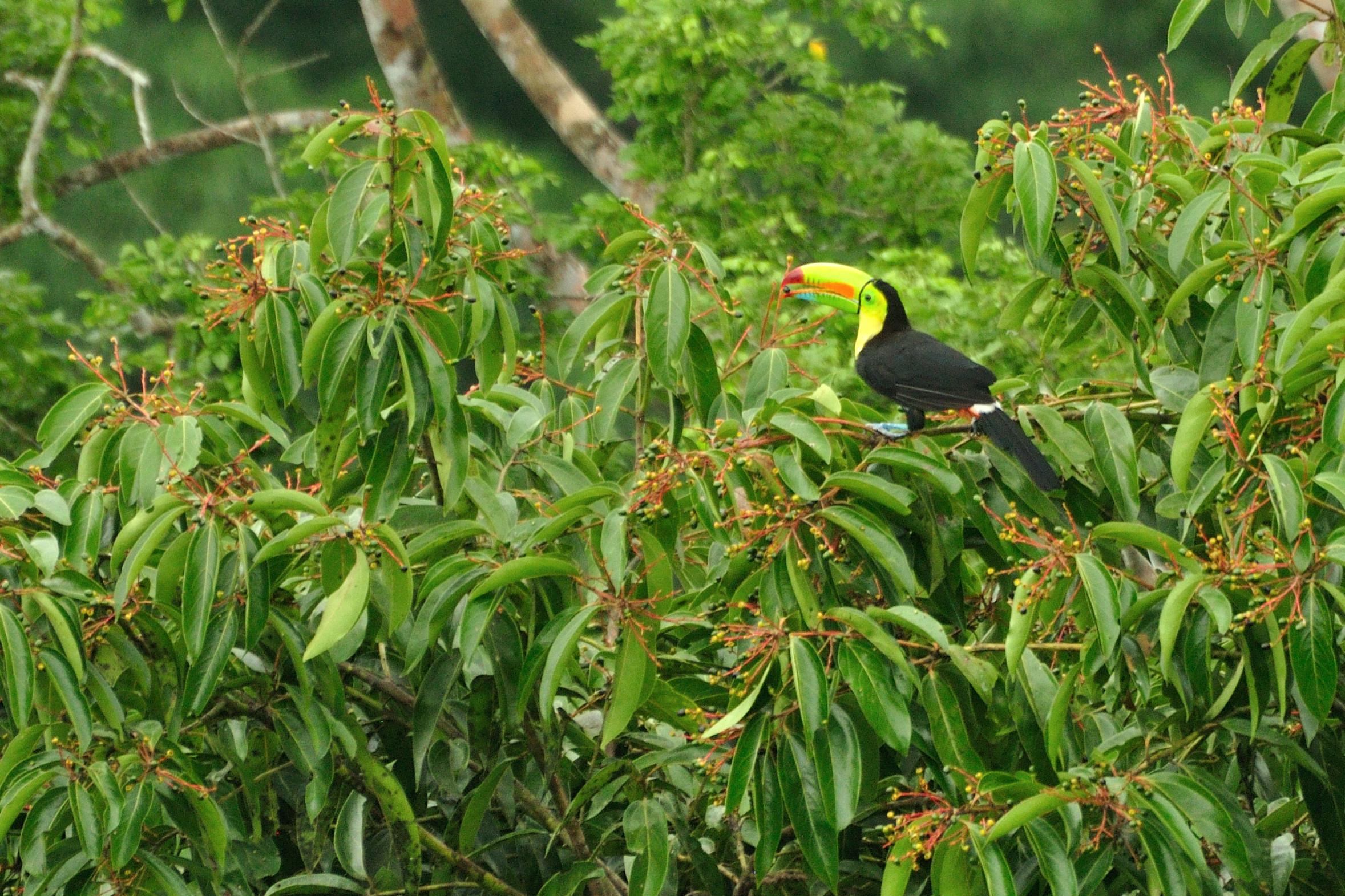 Keel Billed Toucan Habitat