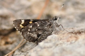 Huachuca Giant-Skipper