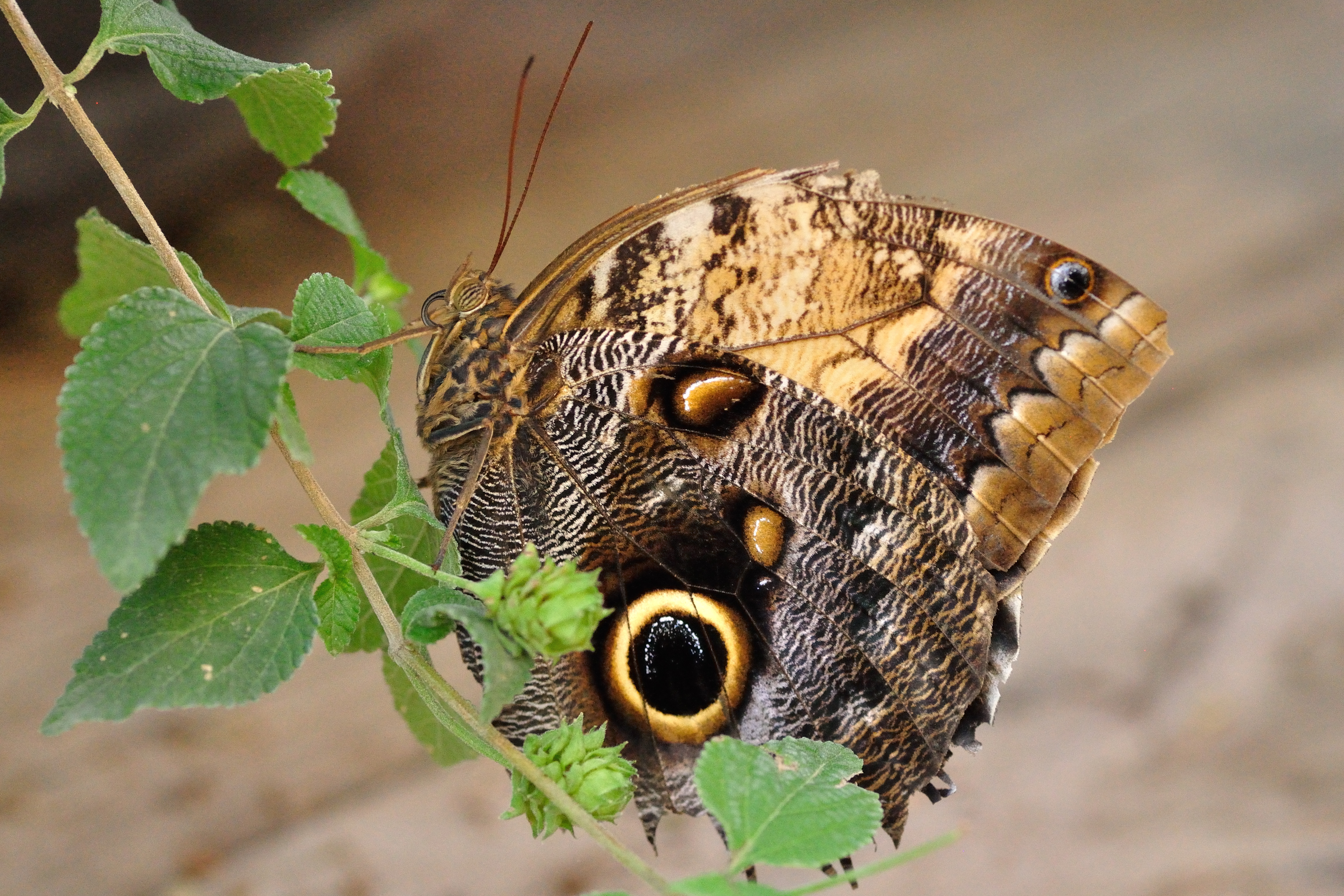 Owl butterfly - photo#10