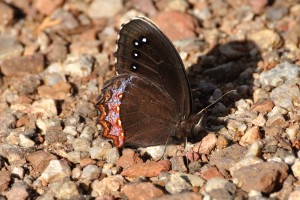 Red-bordered Satyr