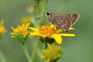 Toltec Roadside-Skipper