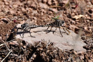 Mating Robber Flys