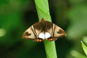 Caneborer Moth