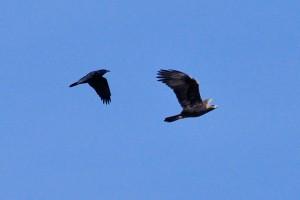 Common Raven and Golden Eagle - Bernardo WMA