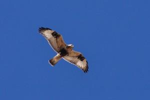 Rough-legged Hawk - Bernardo WMA